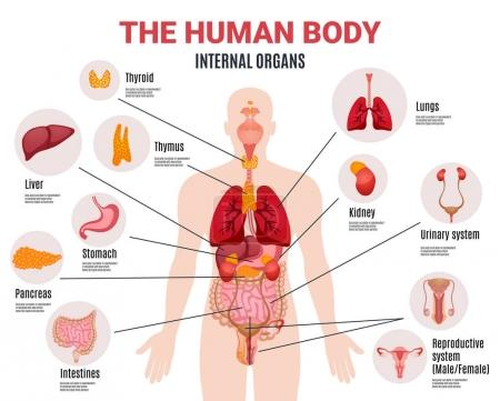 Illustration for Human body internal organs schema flat infographic poster with icons images names location and definitions vector illustration - Royalty Free Image