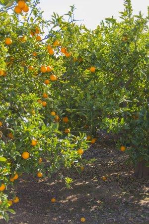 orange trees growing  in spring garden