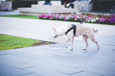 dog walking in green park
