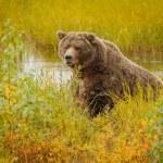 Huge brown bear in Brooks camp in Katmai national ...