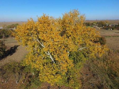 Photo pour Feuilles jaunes sur un peuplier argenté, vue de dessus d'un arbre de peuplier à l'automne. - image libre de droit