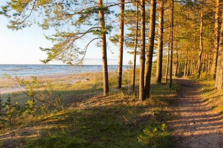 Photo pour Les arbres de la plage à la mer baltique - image libre de droit