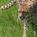 Cheetah in the Masai Mara to foray...