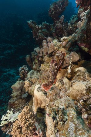 Smallscale scorpionfish and tropical reef in the Red Sea
