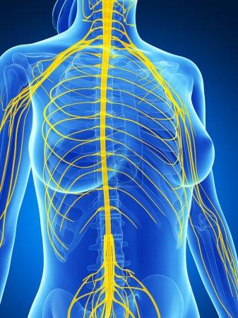 Photo pour Illustration de rendu 3D du système nerveux femelle - image libre de droit