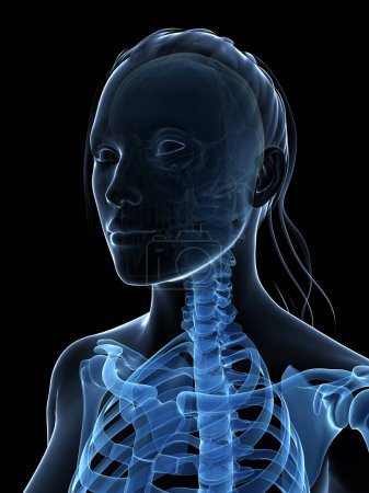 Photo for 3d rendered illustration of the female skeleton - Royalty Free Image