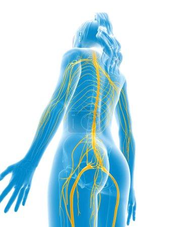 Photo pour 3d Illustration médicale rendue - nerfs féminins - image libre de droit