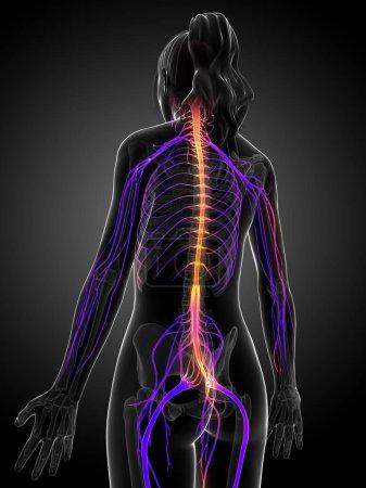 Photo pour Illustration de rendu 3D du système nerveux femelle. - image libre de droit