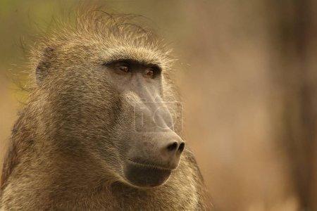 Baboon (Papio ursinus) portrait in Kruger NP.