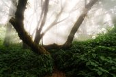 Beautiful Scene Misty Old Forest with Sun Rays