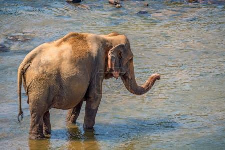 Elephant bathing in river
