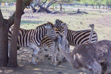 Photo for Wild zebras grazing, tropical safari. - Royalty Free Image