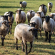 Flock of sheep storms across the pasture...