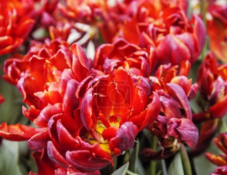 Bunch of tulip flowers