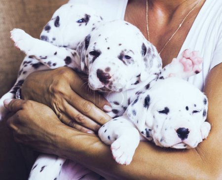 woman holding dalmatian puppies