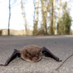 Daubenton's bat (Myotis daubentonii) sits on a pat...