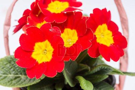 Closeup macro red yellow primrose flowers background