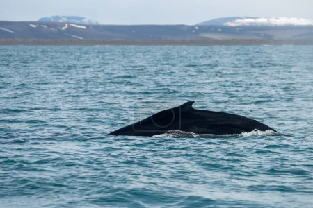 Humpback whale just outside the town of Husavik in...