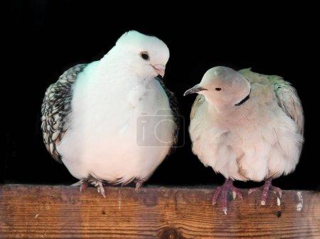 Photo pour Deux colombes blanches perchées ensemble se regardant - image libre de droit