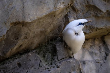 FUENGIROLA, ANDALUCIA/SPAIN - JULY 4 : Bali Starling (Leucopsar