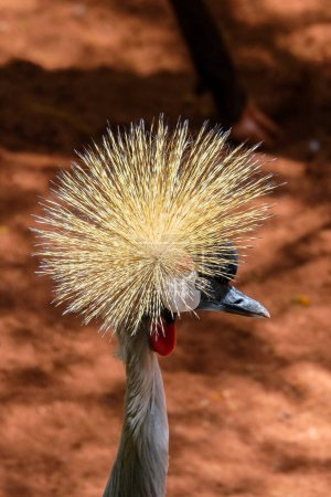 FUENGIROLA, ANDALUCIA/SPAIN - JULY 4 : Black Crowned Crane at th