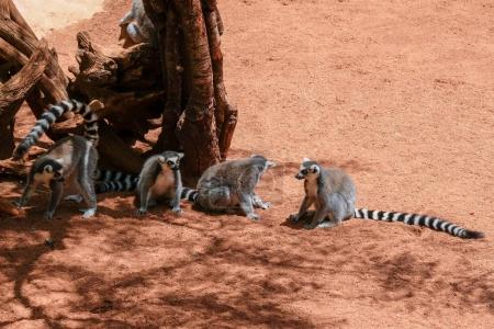 FUENGIROLA, ANDALUCIA/SPAIN - JULY 4 : Ring-tailed Lemurs (Lemur