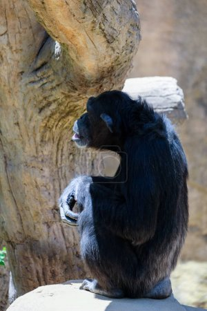 FUENGIROLA, ANDALUCIA/SPAIN - JULY 4 : Chimpanzee resting in the