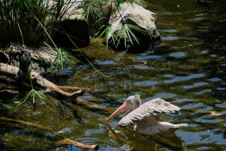 FUENGIROLA, ANDALUCIA/SPAIN - JULY 4 : Spot-Billed Pelican (Pele