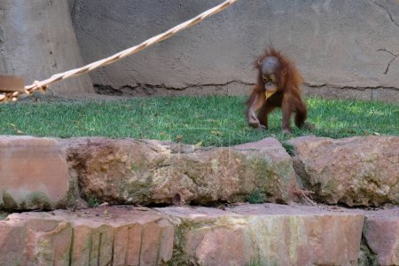 FUENGIROLA, ANDALUCIA/SPAIN - JULY 4 : Baby Orangutan at the Bio