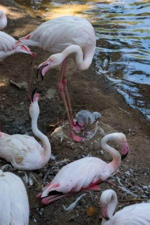 FUENGIROLA, ANDALUCIA/SPAIN - JULY 4 : Greater Flamingos (Phoeni