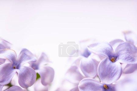 Foto de Marco floral hecho de flores de lila de primavera se cierran. flores de primavera - Imagen libre de derechos