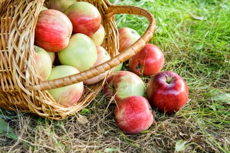 Photo for Freshly picked healthy organic apples on the grass. red apples spilled out onto the green grass from the basket. - Royalty Free Image