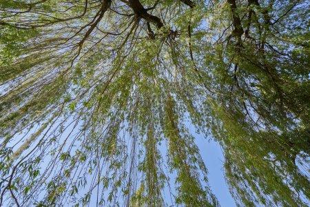 Photo pour Brins de saule brillants et frais au printemps, sur un ciel bleu, vue du bas vers le haut - image libre de droit