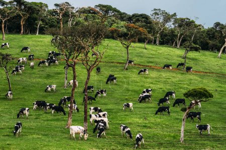 Beautiful green field where cows graze. Cows graze on a green meadow. Cow herd. Agriculture. Dairy farm. Dairy produce. Environmentally friendly product. Farm in Asia. Meadow with green grass