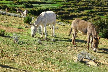 Photo for Donkeys grazing of Isla del Sol, Lake Titicaca, Bolivia. - Royalty Free Image