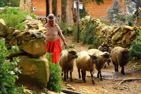 Photo for Isla del sol, Lake Titicaca, Bolivia, The old lady is herding the sheep towards the wood on the island. - Royalty Free Image