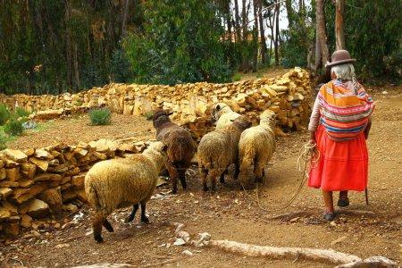 Photo pour Isla del sol, Lac Titicaca, Bolivie, La vieille dame élève les moutons vers le bois sur l'île. - image libre de droit
