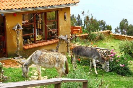 Photo pour Pâturage d'ânes sur la cour de Isla del Sol, Lac Titicaca, Bolivie - image libre de droit