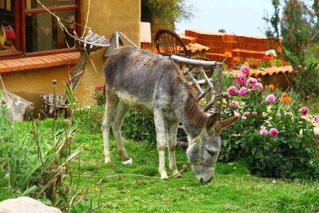 Photo for Donkeys grazing on yard of Isla del Sol, Lake Titicaca, Bolivia - Royalty Free Image