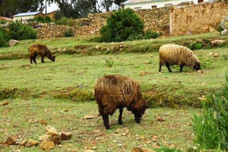 Photo pour Pâturage des moutons de Isla del Sol, Lac Titicaca, Bolivie. - image libre de droit