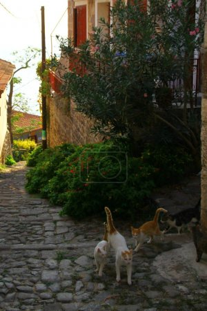 Photo for Cats on the Molyvos streets - Royalty Free Image