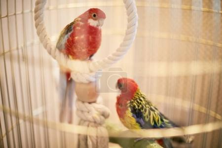 Rosy Faced Lovebird in a cage looking down
