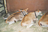 Show Cows Laying in a Bed of Hay at a Fair