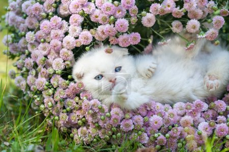 Photo for Cute little white kitten Scottish fold lying on his back in flowers - Royalty Free Image