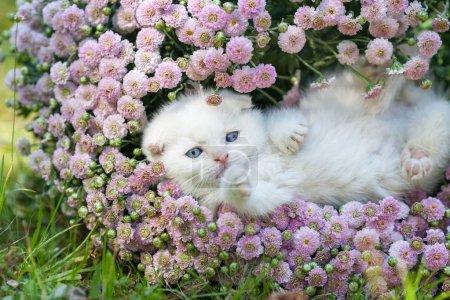 Foto de Lindo gatito blanco escocés fold acostada sobre su espalda en flores - Imagen libre de derechos