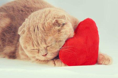 Foto de Scottish fold gato durmiendo sobre la almohada en forma de corazón rojo - Imagen libre de derechos