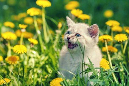 kitten walking on dandelion lawn