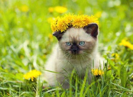 kitten on the dandelion lawn