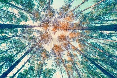Photo pour Cadre de cru des arbres au coucher du soleil au printemps. Paysage scénique de nature. Forêt de pins le soir. Vue de perspective. Pins contre un ciel de coucher du soleil avec le soleil. Vue du bas. Paysage forestier - image libre de droit