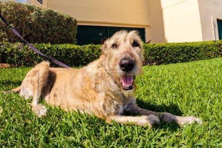 Cute Irish Wolfhound